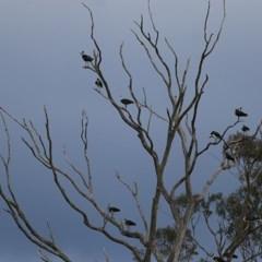 Threskiornis spinicollis (Straw-necked Ibis) at Candelo, NSW - 23 Dec 2020 by Kyliegw