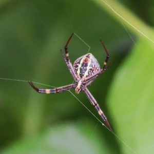 Argiope keyserlingi (St Andrew's Cross Spider) at Nullica State Forest by Kyliegw