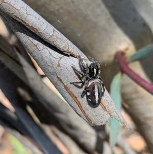 Sandalodes scopifer at Murrumbateman, NSW - 24 Dec 2020