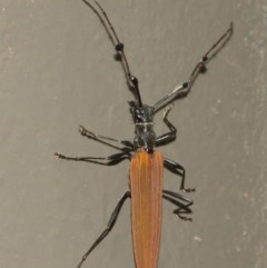 Tropis roei (Roe's longhorn beetle) at ANBG - 18 Dec 2020 by TimL