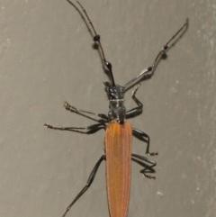 Tropis roei (Roe's longhorn beetle) at ANBG - 18 Dec 2020 by TimL