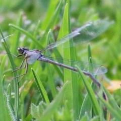 Unidentified Dragonfly / Damselfly (Odonata) (TBC) at Panboola - 24 Dec 2020 by Kyliegw