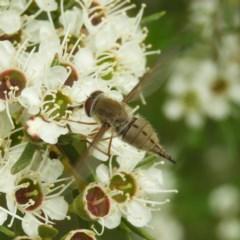 Trichophthalma punctata (Tangle-vein fly) at Kambah, ACT - 21 Dec 2020 by MatthewFrawley