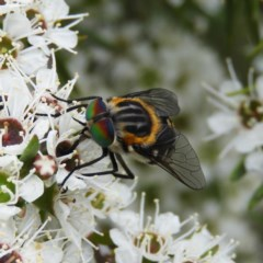 Scaptia sp. (genus) (March fly) at Kambah, ACT - 21 Dec 2020 by MatthewFrawley