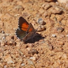 Lucia limbaria (Chequered Copper) at Fyshwick, ACT - 23 Dec 2020 by RodDeb
