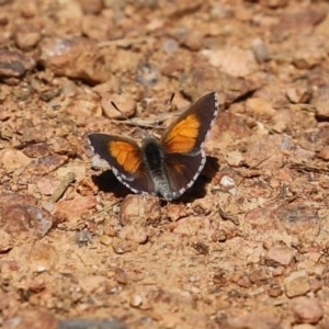 Lucia limbaria at Jerrabomberra Wetlands - 24 Dec 2020