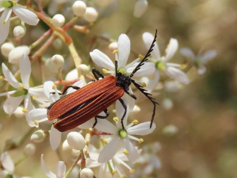 Porrostoma sp. (genus) at Jerrabomberra Wetlands - 24 Dec 2020