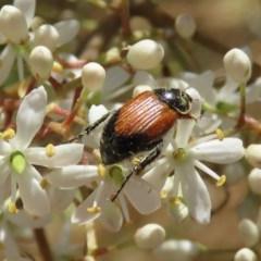 Phyllotocus navicularis (Nectar scarab) at Jerrabomberra Wetlands - 23 Dec 2020 by RodDeb