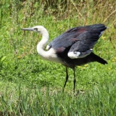 Ardea pacifica (White-necked Heron) at Fyshwick, ACT - 24 Dec 2020 by RodDeb