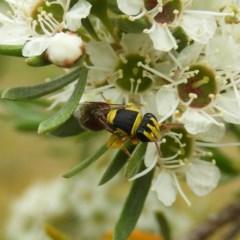Hylaeus (Euprosopis) elegans (Harlequin Bee) at Kambah, ACT - 21 Dec 2020 by MatthewFrawley