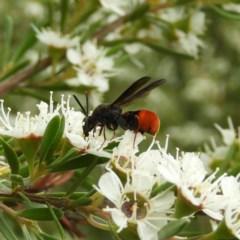 Leucospis sp. (genus) (Leucospid wasp) at Kambah, ACT - 21 Dec 2020 by MatthewFrawley
