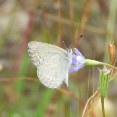 Zizina otis (Common Grass-blue) at Mount Taylor - 21 Dec 2020 by MatthewFrawley
