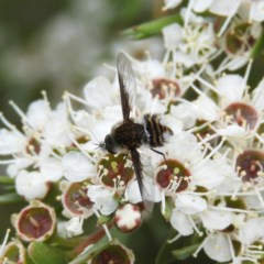 Bombyliidae sp. (family) (Unidentified Bee fly) at Kambah, ACT - 21 Dec 2020 by MatthewFrawley