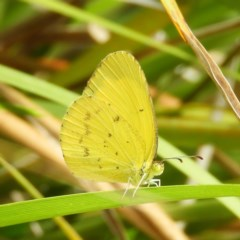 Eurema smilax (Small grass-yellow) at Kambah, ACT - 23 Dec 2020 by MatthewFrawley