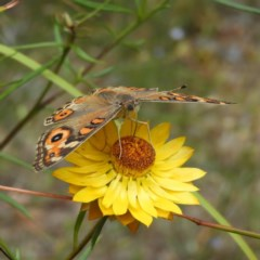 Junonia villida (Meadow Argus) at Kambah, ACT - 23 Dec 2020 by MatthewFrawley