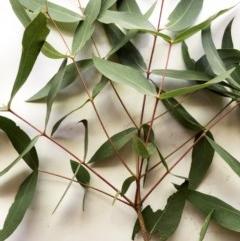 Eucalyptus elata (River Peppermint) at Hughes, ACT - 25 Dec 2020 by ruthkerruish