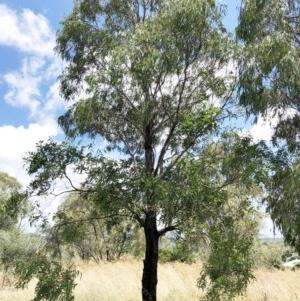Eucalyptus elata at Hughes Garran Woodland - 25 Dec 2020