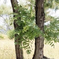 Eucalyptus melliodora at Hughes Garran Woodland - 25 Dec 2020