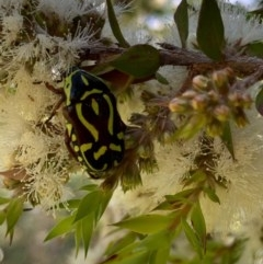 Eupoecila australasiae (Fiddler Beetle) at Murrumbateman, NSW - 25 Dec 2020 by SimoneC