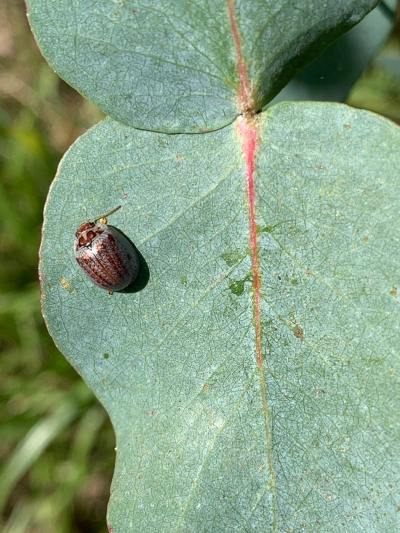 Paropsisterna m-fusca at Murrumbateman, NSW - 25 Dec 2020