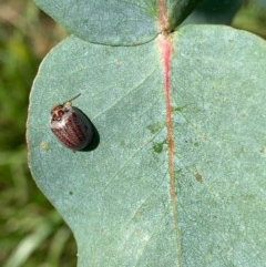 Paropsisterna m-fusca (Eucalyptus Leaf Beetle) at Murrumbateman, NSW - 25 Dec 2020 by SimoneC