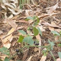 Solanum nigrum (Black-berry Nightshade) at Lake Ginninderra - 25 Dec 2020 by Rixon