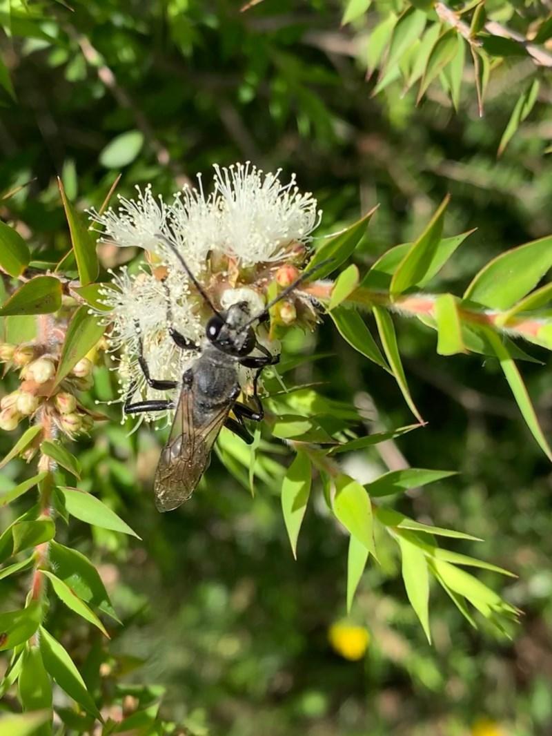 Sphex sp. (genus) at Murrumbateman, NSW - 25 Dec 2020