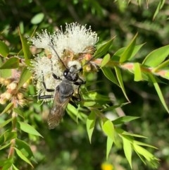 Sphex sp. (genus) (Unidentified Sphex digger wasp) at Murrumbateman, NSW - 25 Dec 2020 by SimoneC