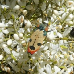 Castiarina mustelamajor (A jewel beetle) at Tuggeranong Hill - 24 Dec 2020 by Owen
