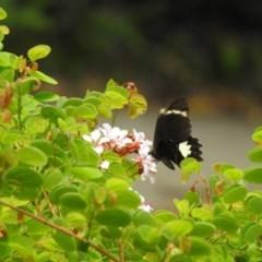Papilio aegeus (TBC) at Lake MacDonald, QLD - 16 Dec 2020 by Liam.m