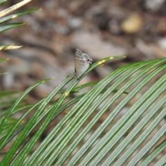 Catopyrops florinda halys (TBC) at Lake MacDonald, QLD - 16 Dec 2020 by Liam.m