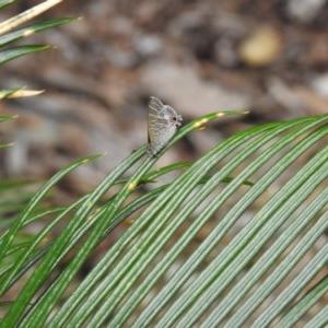 Catopyrops florinda halys (TBC) at suppressed by Liam.m