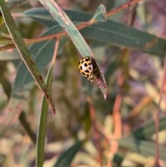 Harmonia conformis (Common Spotted Ladybird) at Murrumbateman, NSW - 23 Dec 2020 by SimoneC