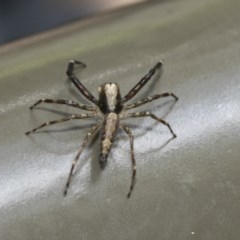 Helpis minitabunda (Jumping spider) at ANBG - 18 Dec 2020 by AlisonMilton