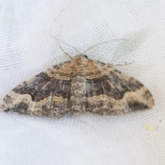 Epyaxa subidaria (Subidaria Moth) at Higgins, ACT - 20 Dec 2020 by AlisonMilton
