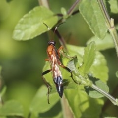 Ctenochares bicolorus (Black-tipped orange ichneumon) at Higgins, ACT - 19 Dec 2020 by AlisonMilton