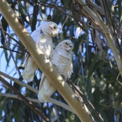 Cacatua sanguinea (Little Corella) at Higgins, ACT - 4 Jul 2020 by Alison Milton
