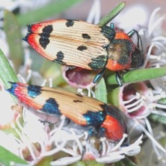 Castiarina mustelamajor (A jewel beetle) at Black Mountain - 24 Dec 2020 by Harrisi