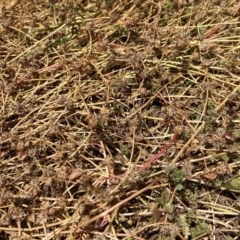 Trifolium glomeratum (Clustered Clover) at Kaleen, ACT - 26 Dec 2020 by blumbo