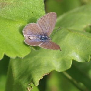Unidentified Blue & Copper (Lycaenidae) (TBC) at suppressed by Kyliegw