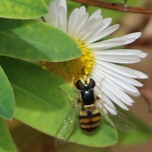 Simosyrphus grandicornis (Common hover fly) at Pambula Beach, NSW by Kyliegw