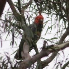 Callocephalon fimbriatum (Gang-gang Cockatoo) at Wyndham, NSW - 25 Dec 2020 by Kyliegw