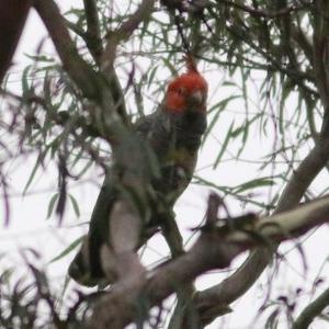 Callocephalon fimbriatum (Gang-gang Cockatoo) at Wyndham, NSW by Kyliegw