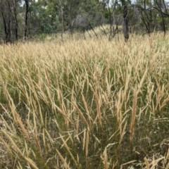 Austrostipa densiflora (Foxtail Speargrass) at Mount Majura - 29 Dec 2020 by abread111