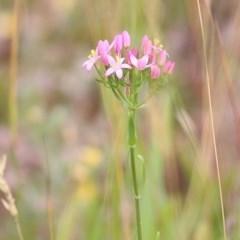 Unidentified Other Wildflower (TBC) at Burragate, NSW - 25 Dec 2020 by Kyliegw