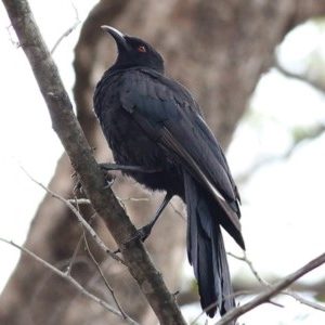 Corcorax melanorhamphos (White-winged Chough) at Burragate, NSW by Kyliegw