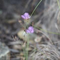 Thysanotus tuberosus subsp. tuberosus (Common Fringe-lily) at Burra, NSW - 17 Dec 2020 by bambararick