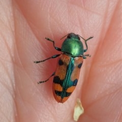 Castiarina scalaris (Scalaris jewel beetle) at Mount Painter - 23 Dec 2020 by CathB