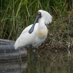 Platalea regia (Royal Spoonbill) at Isobella Pond - 26 Dec 2020 by patrickcox