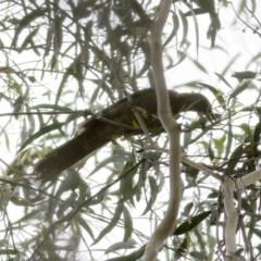 Unidentified Bird (TBC) at Wyndham, NSW - 25 Dec 2020 by Kyliegw